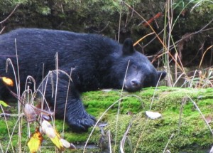 picture of a black sleeping bear