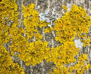 natural-abstract-yellow-lichen-growing-on-bark-of-tree-matthias-hauser