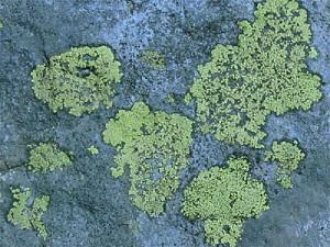 lichen21